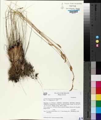 Image of Ctenium brachystachyum
