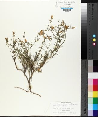 Gilia rigidula image