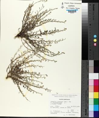 Loeselia coerulea image