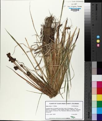 Carex nova image
