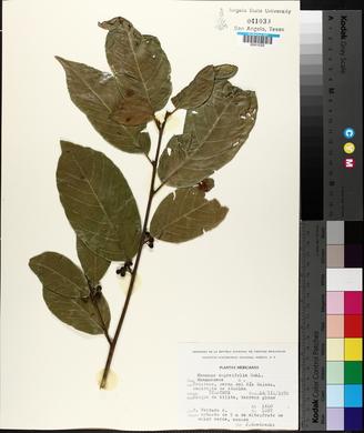 Rhamnus capreifolia image