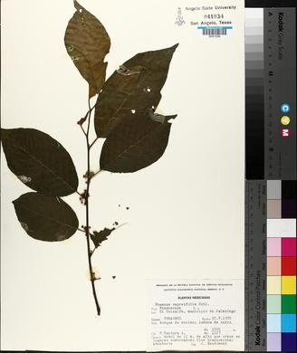 Image of Rhamnus capreifolia