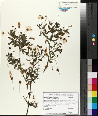 Image of Calliandra angelica
