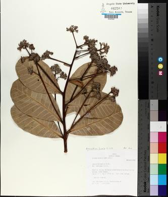 Image of Anacardium humile