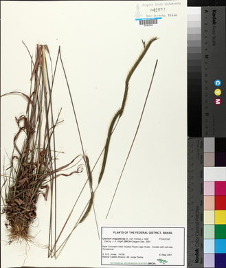 Image of Ctenium chapadense