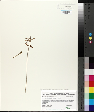 Spiranthes floridana image