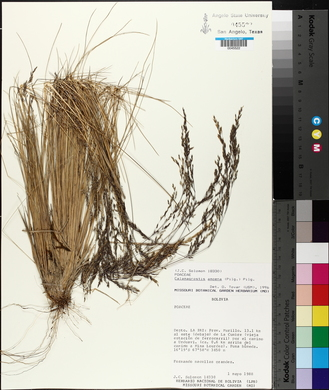 Calamagrostis amoena image
