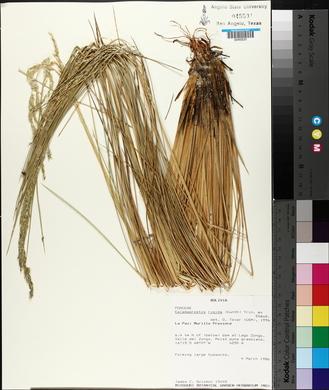 Image of Calamagrostis rigida