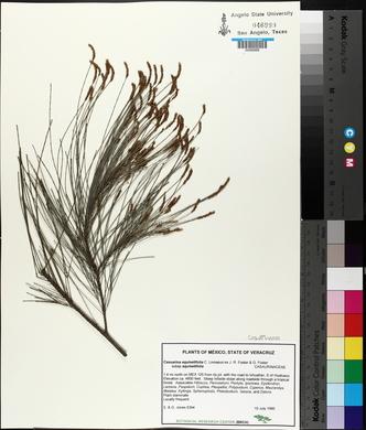 Casuarina equisetifolia image