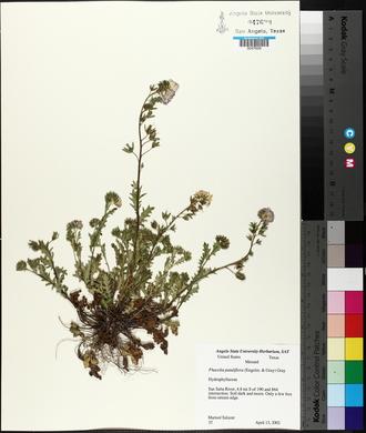 Phacelia patuliflora image