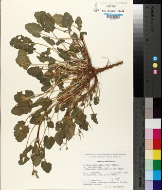 Erodium malacoides image