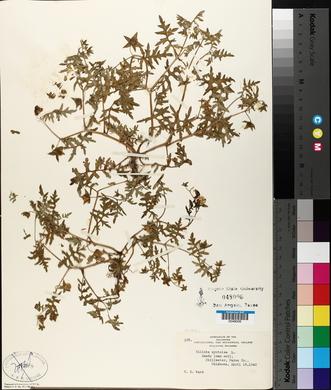 Ellisia nyctelea image