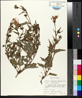 Nyctaginia capitata image