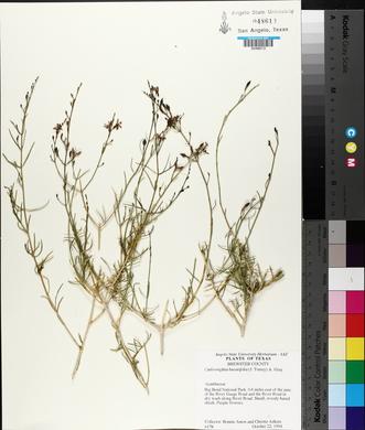 Carlowrightia linearifolia image
