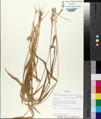 Image of Urochloa paucispicata