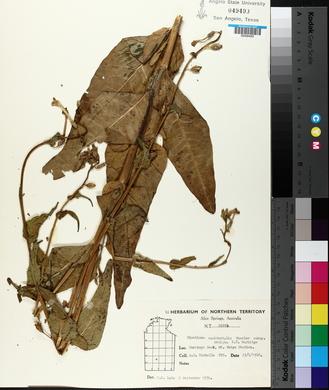Image of Nicotiana occidentalis