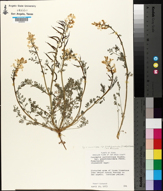 Corydalis curvisiliqua image