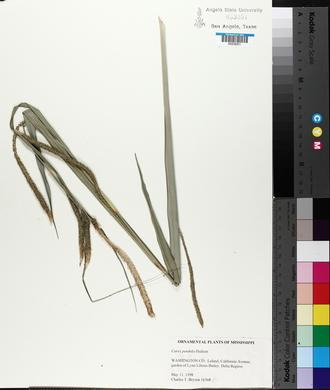 Carex pendula image