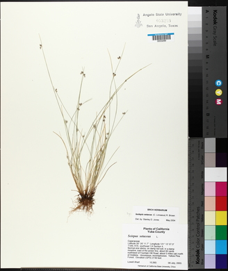 Isolepis setacea image