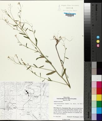 Thelypodiopsis vaseyi image