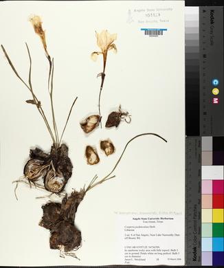 Zephyranthes drummondii image
