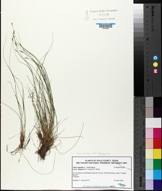 Carex leptalea image