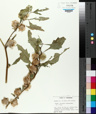 Nicandra physalodes image