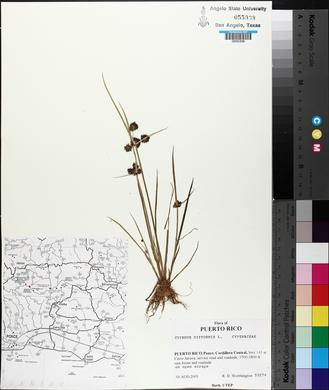 Cyperus difformis image