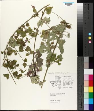 Agastache breviflora image