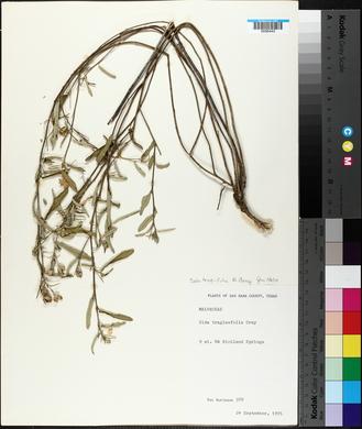 Sida tragiifolia image