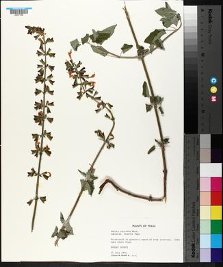 Salvia coccinea image