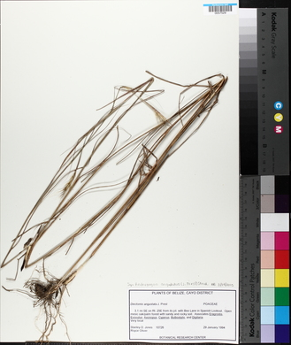 Andropogon angustatus image