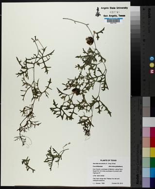 Ibervillea tenuisecta image