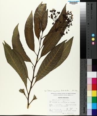 Image of Solanum argentinum