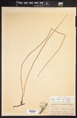 Equisetum prealtum image