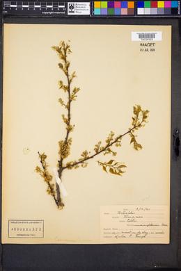 Celtis mississippiensis image