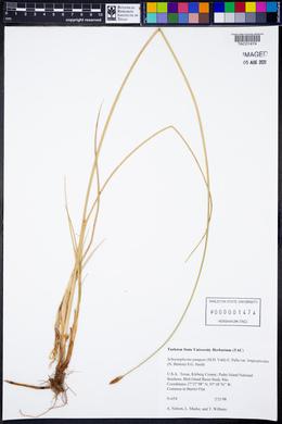 Schoenoplectus pungens var. longispicatus image