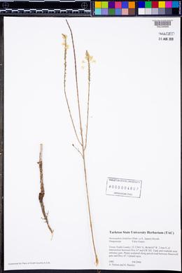 Stenosiphon linifolius image
