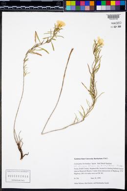 Oenothera berlandieri image