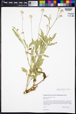 Rapistrum rugosum image