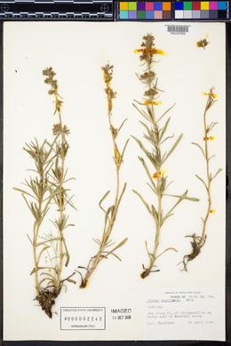 Image of Salvia engelmanni