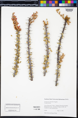 Fouquieria splendens image