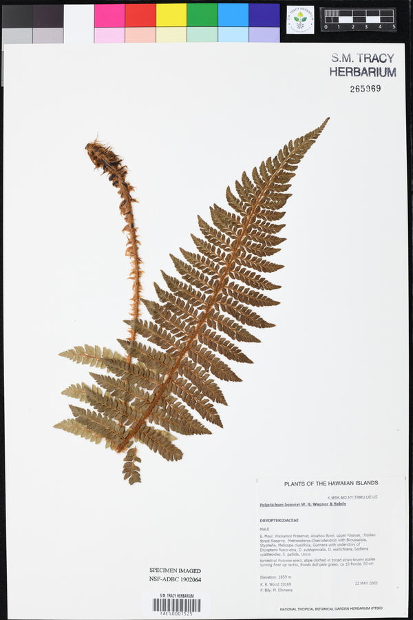 Polystichum bonseyi image