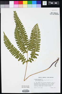 Lindsaea montana image