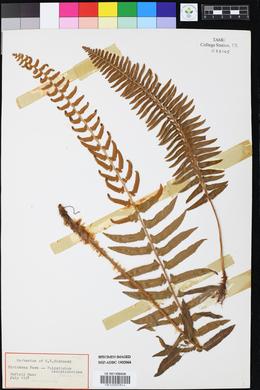 Rhus aromatica var. flabelliformis image