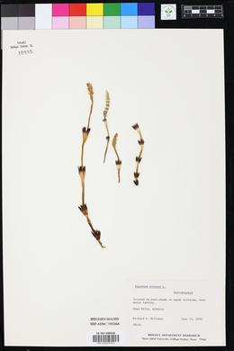 Fuirena simplex var. simplex image