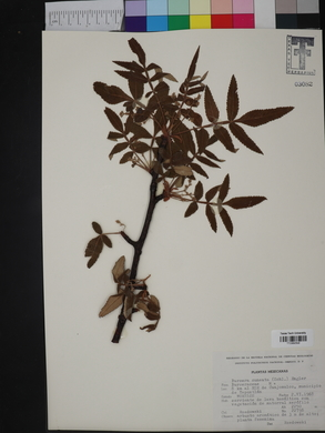 Image of Bursera cuneata