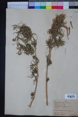 Cannabis sativa image