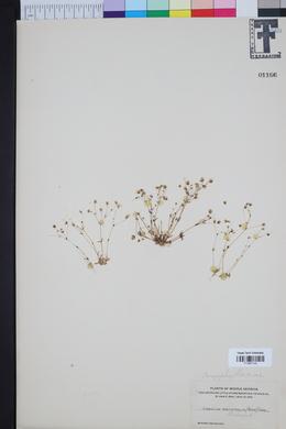 Image of Sabulina brevifolia