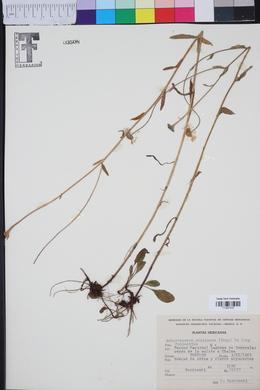 Achaetogeron mexicanus image